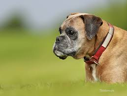 boxer dog kidney problems boxer cardiomyopathy avcp a threat to the boxer breed