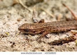 Seeking Lizard Macro Lizard Stock Photo 422348701