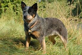 australian shepherd blue heeler mix what you need to know about training blue heeler puppies u003e puppy toob