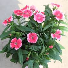 Sweet William Flowers 100 Pcs Dwarf Dianthus Flower Seeds Mixed Color Perennial Sweet