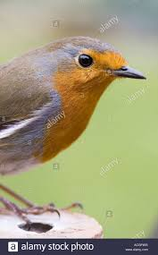 robin redbreast close up stock photo royalty free image