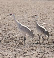 big and beautiful while mating dance of sandhill crane is sight