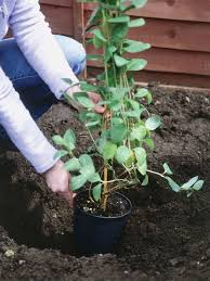 how to plant climbers planting climbers against walls and fences