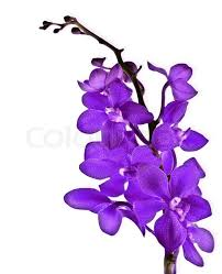 purple orchid flower purple fresh orchid flower isolated on white background stock