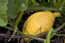 Squash Plant Diseases Pictures - how to grow squash rhs gardening