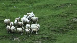 australian shepherd herding sheep shepherd sheep stock footage video shutterstock