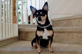 swarovski dog necklace images Diamond frost handmade swarovski crystal dog or cat collar jpg