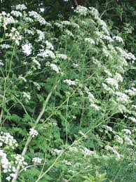 plants native to michigan poison hemlock flowering plants shs ashx 768 1024 new home