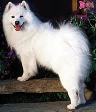 american eskimo dog rescue colorado american eskimo dog care a lot pet supply