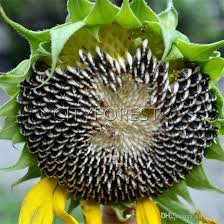 2018 giant sunflower 50 seeds for planting edible non gmo heirloom