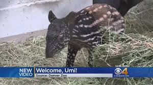 Denver Zoo Lights Coupons by Meet The New Baby Tapir At Denver Zoo Youtube
