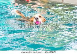 red white pitbull playing ball pool stock photo 145978247