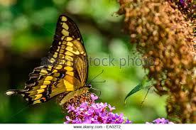 butterfly wings folded stock photos butterfly wings folded stock