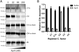 pseudomonas aeruginosa alkaline protease blocks complement
