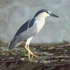 heron meaning file black crowned night heron 5770945257 jpg wikimedia commons