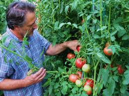 How To Grow Vegetables by How To Grow Tomatoes