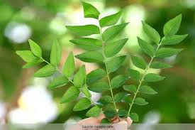 Curry Leaf Plant Diseases - curry leaves for hair care