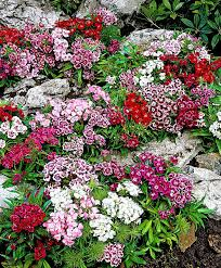 buy ground cover plants online bakker com