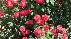 rose garden free video clips 89 free downloads