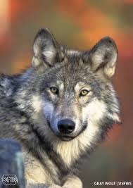 Iowa wildlife images 4 quick ways to tell a wolf from a coyote dnr news releases jpg