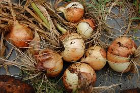 storing onions from the garden how to keep onions over winter