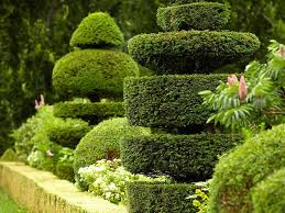 English Box Topiary - how to prune topiary saga