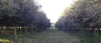 wholesale trees bealecorp