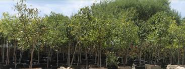ornamental and shade trees reds garden center northbrook illinois