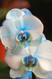 blue orchids for sale blue orchid plants for sale blue mystique orchid for sale http