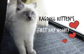 ragdoll kitten u0027s first day home so cute youtube