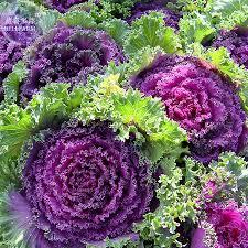 bellfarm kale brassica oleracea ornamental cabbage seeds 30 seeds