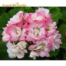 fleurs vivaces rustiques online get cheap rose g u0026eacute ranium aliexpress com alibaba group