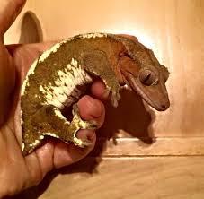 Halloween Crested Gecko Morph by Essex Geckos Care Sheet Morphs Sexing