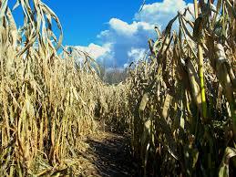 guide to corn mazes in michigan i love halloween