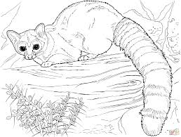 ringtail cat coloring page free printable coloring pages
