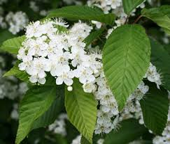 Tree With Little White Flowers - korean mountain ash tree small flowering trees willis orchards