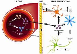 Blood Brain Barrier Anatomy Regulation Of Blood Brain Barrier Permeability Entry O Open I