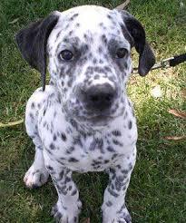 australian shepherd dalmatian mix what can dog owners really expect from a corgi dalmatian mix