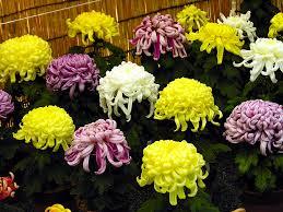 november is for chrysanthemums flower blog