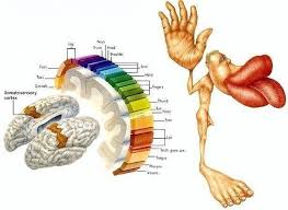 The Human Body Picture What Parts Of The Human Body Have The Most Nerve Endings And Why