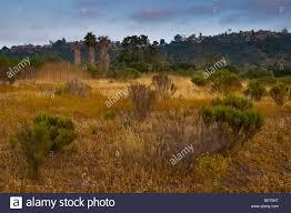 grassland native plants native plants in los penasquitos canyon preserve san diego stock