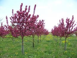 Profusion Flowering Crabapple - aspinall u0027s landscaping and tree nursery field trees chittenango ny