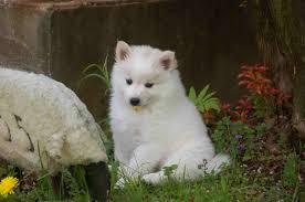 american eskimo dog energy level paw print genetics category ask the vet