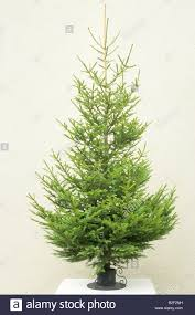 Nordmann Fir Christmas Tree Nj by Coniferous Tree Coniferae Evergreen Stock Photos U0026 Coniferous Tree
