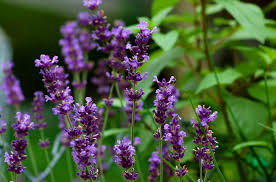 lavender flowers lavender plants landscaping uses care