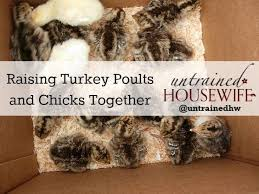 hoping to raise our own turkeys for thanksgiving this year