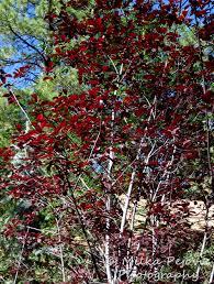 ornamental plum tree with leaves milka pejovic