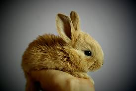 rabbit bunny the origin story of domesticated rabbits may be all wrong