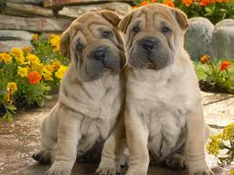 lovely shar pei dogs photo and wallpaper beautiful lovely shar