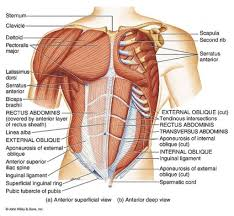 Human Anatomy Torso Diagram Abdomen Muscle Anatomy Muscles Of The Abdomen Diagram Abdomen